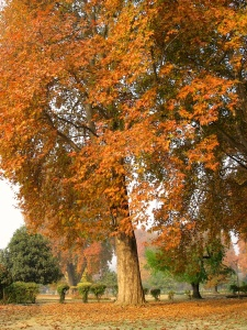 Chinar tree showing its fall colors in Harwan Park, Srinagar, Kashmir